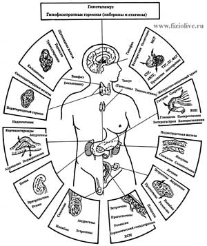 The major endocrine glands and their hormones are excreted