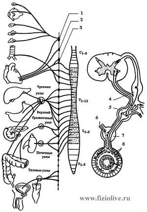 The sympathetic part of the autonomic nervous system