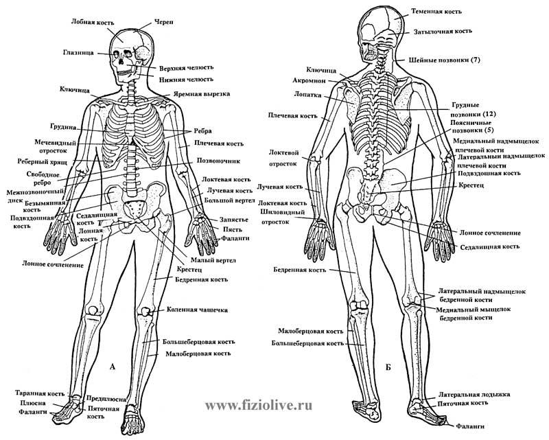 http://fiziolive.ru/riss/skeleton_800.jpg