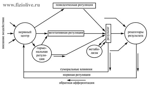 Scheme. Functional system by P. K. Anokhin