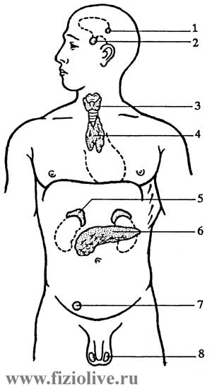 Endocrine glands in humans