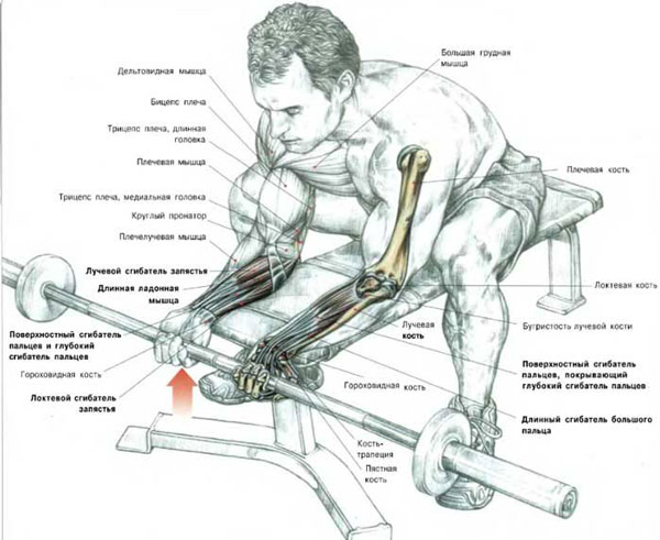 Bending the wrist while sitting with barbell